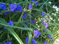 Virginia spiderwort 2