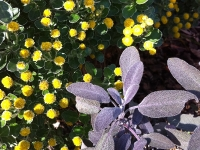 Gold and silver chrysanthemum (with purple sage)