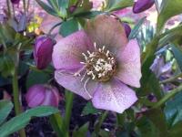 Lenten rose 2