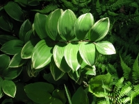 Variegated Solomon's seal